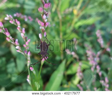 Brown Bug In Herbal Vegetation
