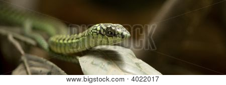 Boomslang - Dispholidus Typus Typus