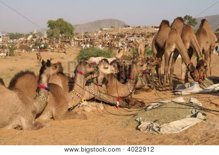 Camels For Sale At The Pushkar Fair