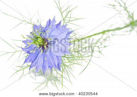 Single nigella damascena flower on white background