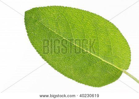 Single sage (salvia) leaf