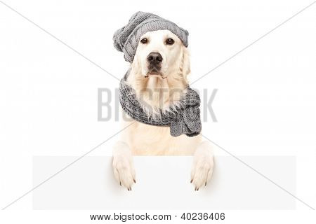Labrador retriever behind blank panel, isolated on white background