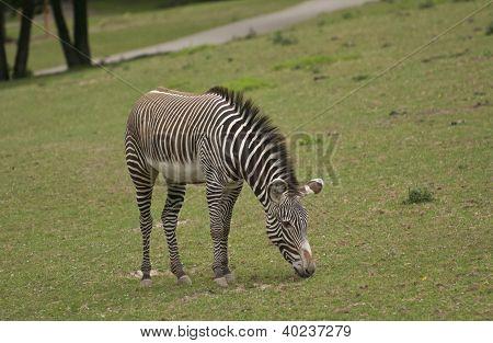 Gr�vy's Zebra