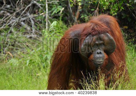 Orangutan Nanang