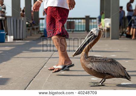 Brave Florida Pelican