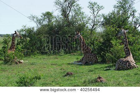 Resting Giraffes In Uganda