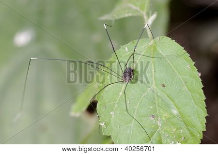 daddy long leg spider