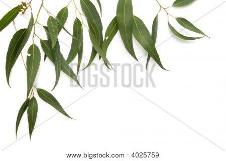 Gum Leaf Border