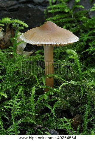 Webcap fungus