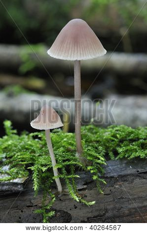Bleeding Mycena fungi