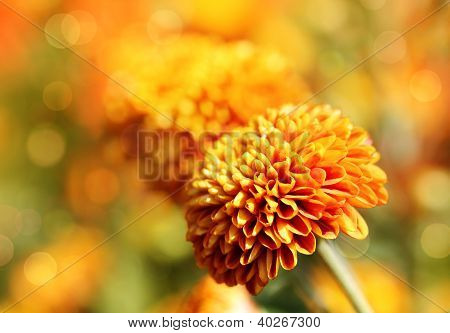 Beautiful Orange Chrysanthemum Flowers & Bokeh In The Background. This Pretty Blossom Is Also Known