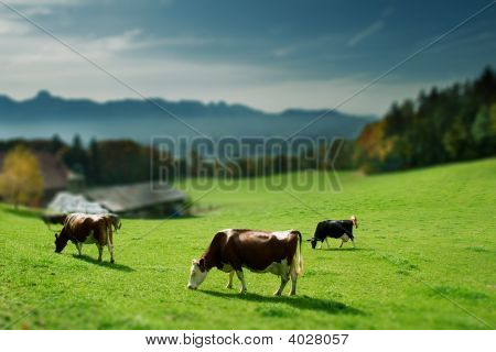 Group Of Cows
