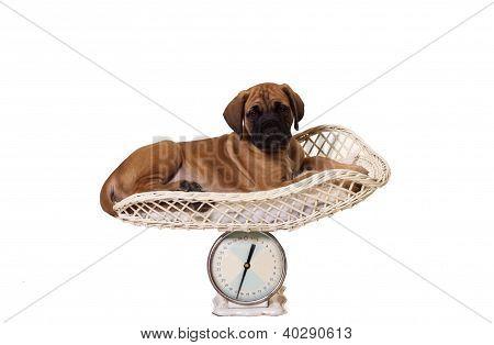 English Mastiff Pup On Scale