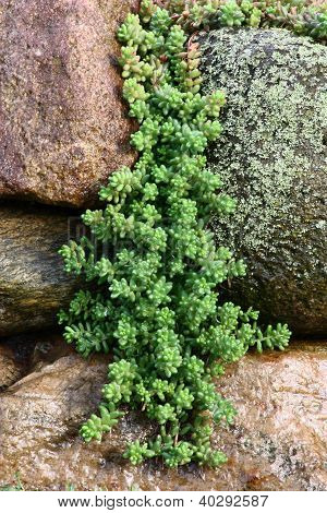Hanging down sedum.