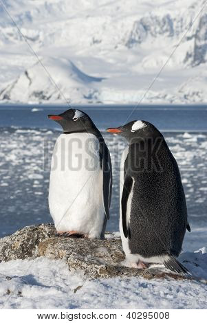 Gentoo Penguin Couple On The Background Of The Glaciers.
