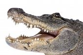 pic of alligator  - American Alligator  - JPG
