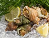 image of whelk  - whelks with dill and lemon on ice - JPG