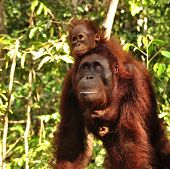 stock photo of baby-monkey  - Baby orangutan with her mother - JPG