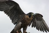 image of mph  - The Peregrine Falcon has the ability to reach speeds over 200 mph making it the fastest animal in the world - JPG