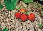 foto of strawberry plant  - strawberry on straw - JPG