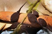 foto of tadpole  - Toad tadpoles in close up in fresh water tank.