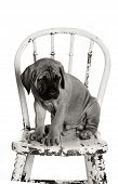 picture of english-mastiff  - Newborn English Mastiff puppy sitting on a vintage chair - JPG