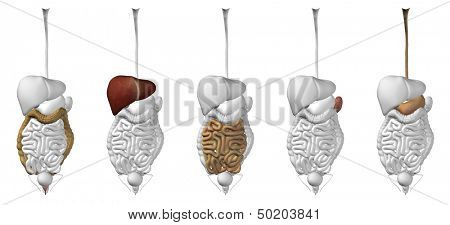3D human or man internal abdominal or thorax organs collection set for anatomy or health designs. An illustration isolated on white background