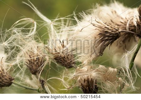 Thistle capsule dispersing seeds
