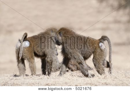 Baboon Family On The Rest