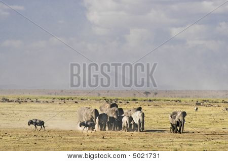 Elephants Herd  In Amboseli National Reserve