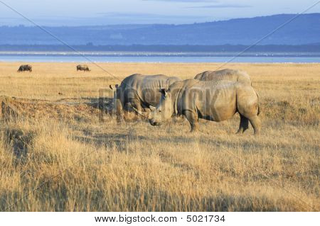 Herd Of  White Rhinos