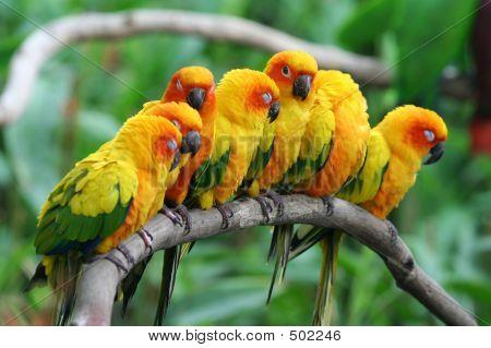 Littles Parrots.