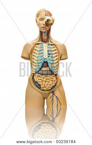 Isolated Male Anatomy Model On White