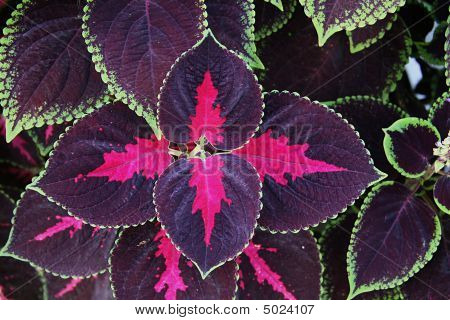 Coleus Background