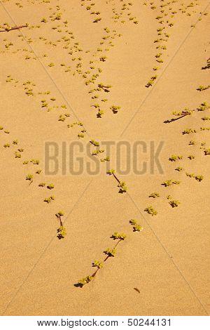 Dune Plants