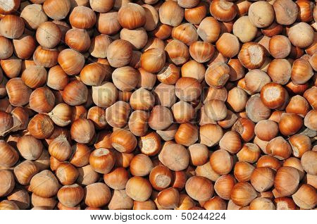 closeup of a pile of hazelnuts in shell after harvesting