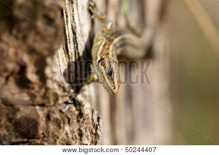 Lizard - Zootoca-vivipara