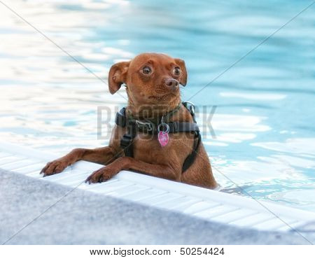 a miniature pinscher swimming in a public pool