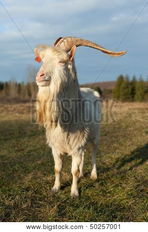 Male goat standing in field looking at sunset