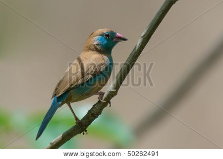 Female Red-cheeked Cordon Bleu