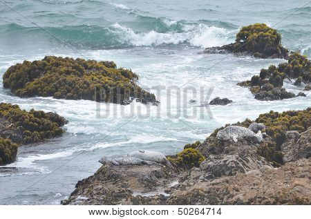 California Sea Lions rest on rocks