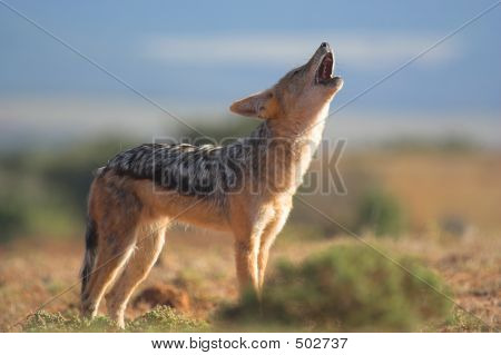 Howling Jackal
