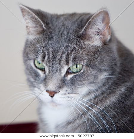 Grey Cat With Tabby Markings