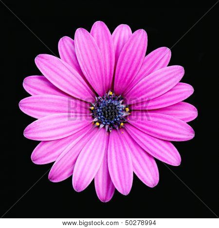 Deep Pink Daisy Isolated