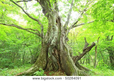 Primeval Forest Of Chestnut Tree