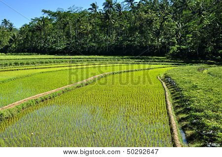 Rice fields Background