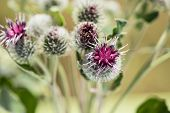 pic of cardo  - thistle flowers in a sunny day on an indistinct background