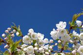 stock photo of cherry blossom  - Fresh white cherry blossom against a bright blue sky - JPG