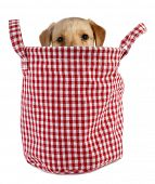 foto of peep  - Little dog puppy is peeping from plaid basket - JPG