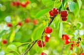 stock photo of orchard  - Cherry tree with red fruits growing in the garden - JPG